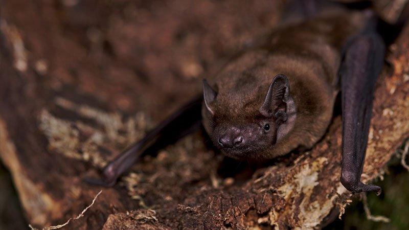the noctule bat